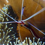 cleaner-shrimp