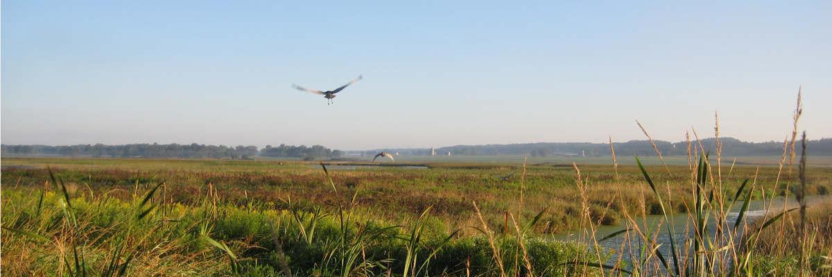 Released juvenile Sandhill cranes (<i>Grus canadensis</i>