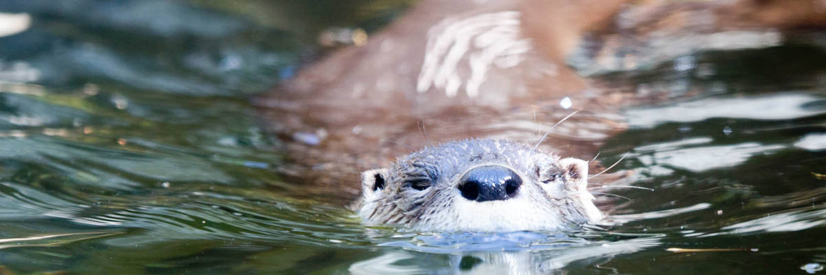 North American river otter (<i>Lontra canadensis</i>)